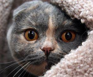 Британские и шотландские коты разница