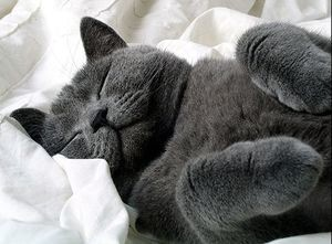 Британские котята описание породы характер