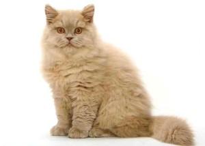 Стандарт британской длинношерстной кошки