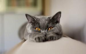 Британский кот прививки