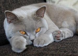 Текут глазки у британского котенка