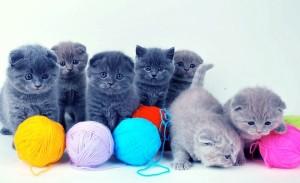 Особенности котов британской породы