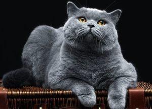 Прививки британским кошкам