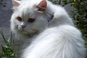 Британский кот пушистый