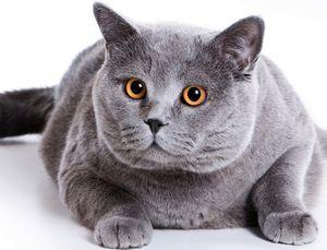 Есть ли британские вислоухие кошки