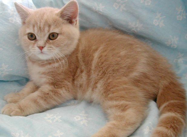 Фото британского котенка кремового табби