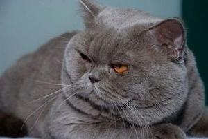 Какие прививки делают британским кошкам