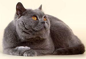 Как воспитывать британскую кошку