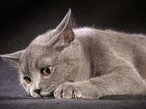 Лезет шерсть у британской кошки