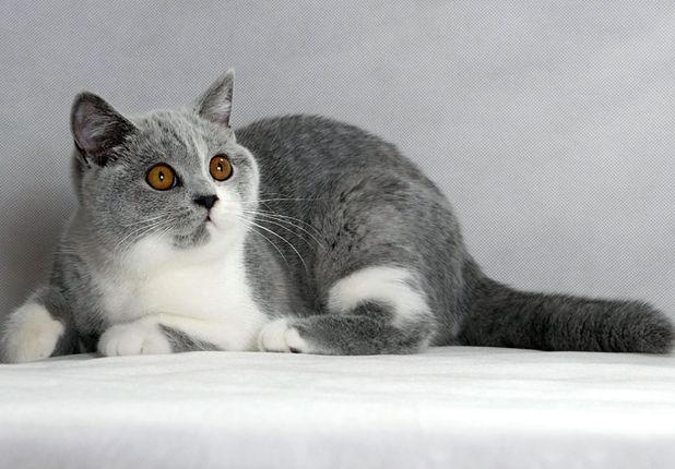 Британский котенок голубой биколор