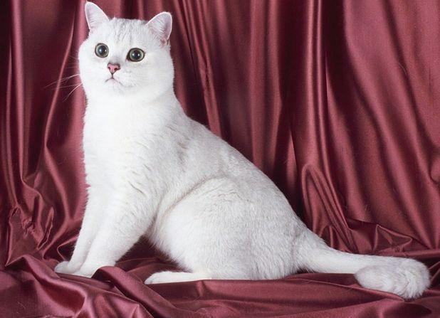 Британская кошка окраса шиншилла