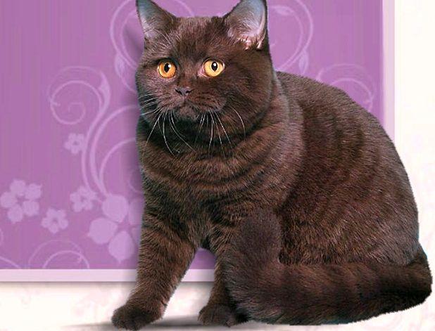 Фото британской кошки шоколадного окраса