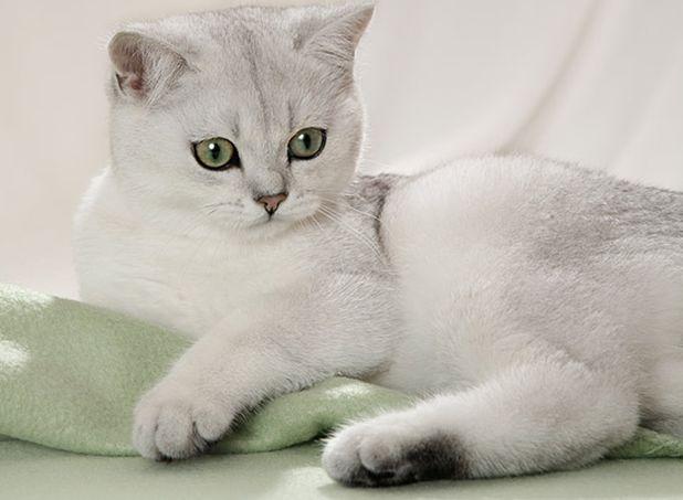 Британская кошка затушеванная