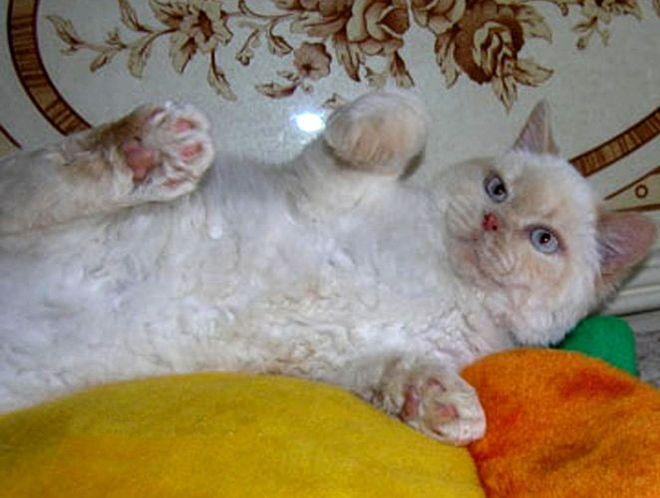 На картинке британский кот кремовый пойнт