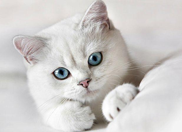 Белый британский котенок с голубыми глазами