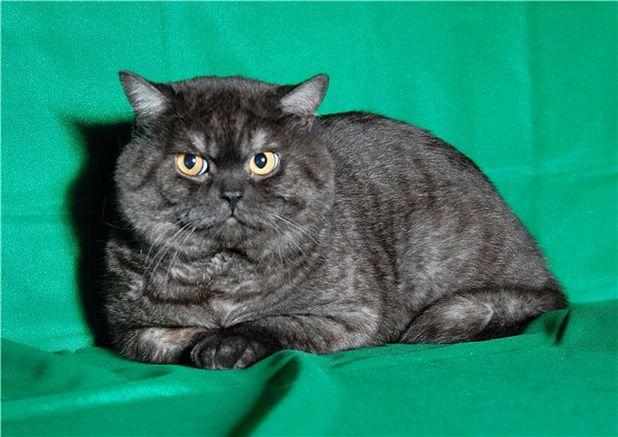 Британский кот  окраса черный дым
