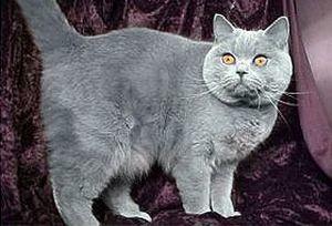 У британского кота слезятся глаза