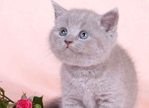 Болезни британских котят