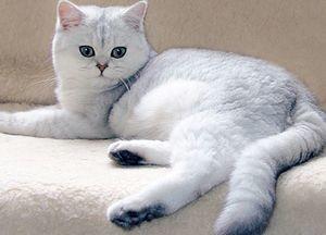 Британские котята характер и особенности