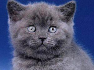 Курдючок у британских кошек