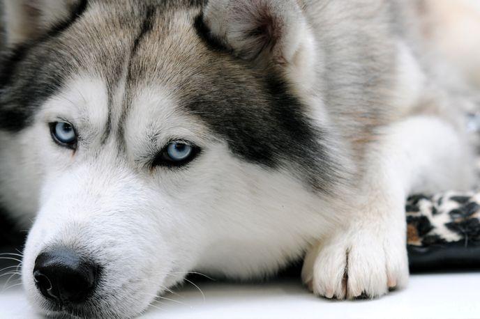 Сильвер хаски с голубыми глазами