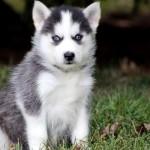 Голубоглазый щенок помски
