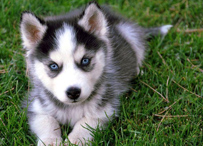 Черно-белый хаски с голубыми глазами