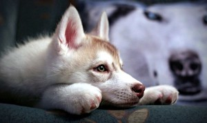 Породы собак мини хаски
