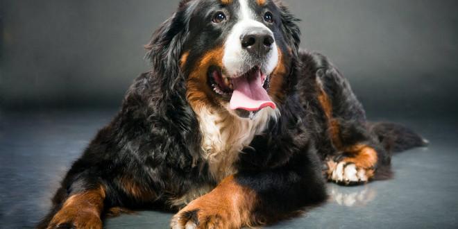 Бернский зенненхунд — идеальный семейный пес