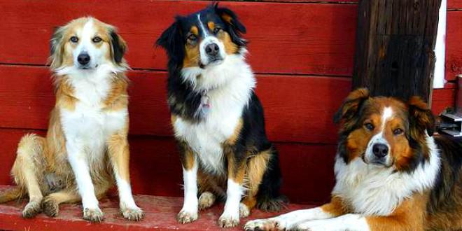 Английская овчарка — собака с обочины