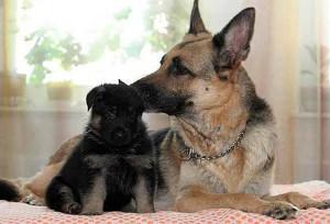 Европейская овчарка фото со щенком