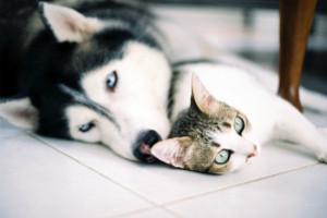 Хаски и кошки