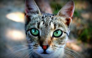 Микоплазмоз у котов
