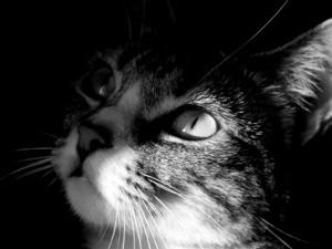 Кальцивироз у кота