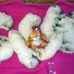 Новорожденные комондорчики