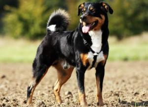 Собака породы аппен
