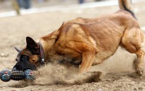 Социализация пастушьей собаки