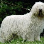 Венгерская овчарка на прогулке