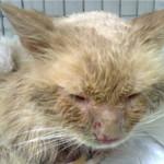 Вирус кальцивироза у кошек
