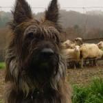 Овчарка пикардийская