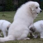 Пиренейская горная собака с щенками