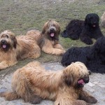 Порода собак бриар фото