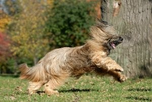 Собака бриар фото