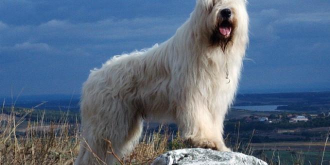 Южнорусская овчарка — всегда на страже порядка