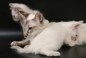 Балинезийские котятя фото