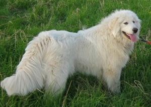 Французская овчарка горная пиренейская