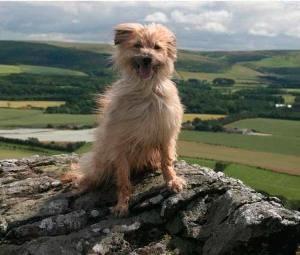 Пиренейская собака