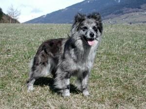 Пиренейская собака, фото