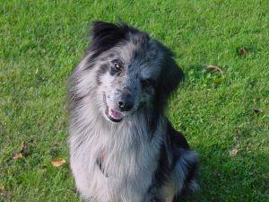 Порода пиренейской собаки