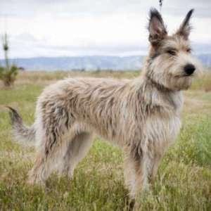 Порода собаки пикарди